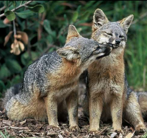 Channel Island Foxes