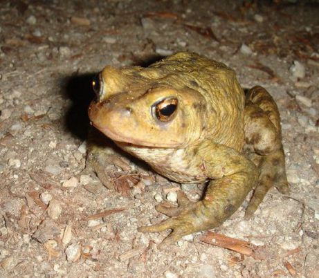 Frog (Photo by rupp.de /Creative Commons via Wikimedia)