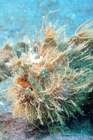 Striated frogfish having a critically bad hair day. (Photo by Jens Petersen/Creative Commons via Wikipedia)
