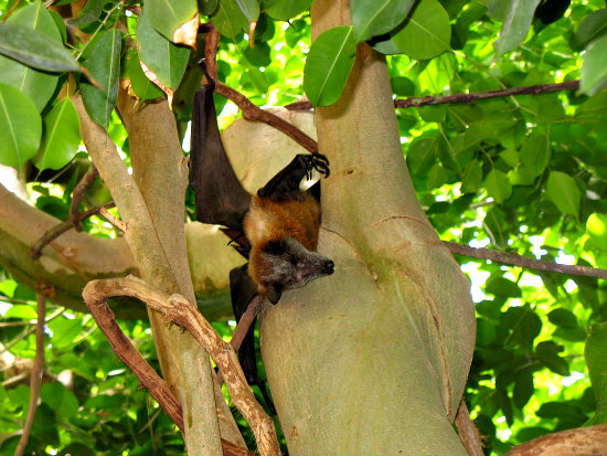 Fruit Bat: South African fruit bats are known to sleep with one eye open