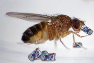 Male fruit flies turn to alcohol when spurned by females: image via erratica.com