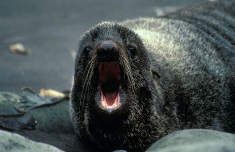 Northern Fur Seal (Public Domain Image)