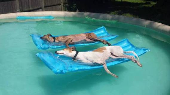 Dogs Relaxing in the Pool (Photo via Gabe to the Rescue)