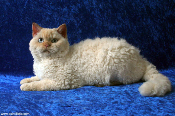 Curly Haired Selkirk Rex Cats Shown To Be Genetically