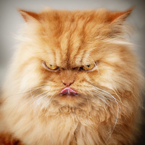 Garfi, The Angriest Cat In The World (Photo via Imgur)