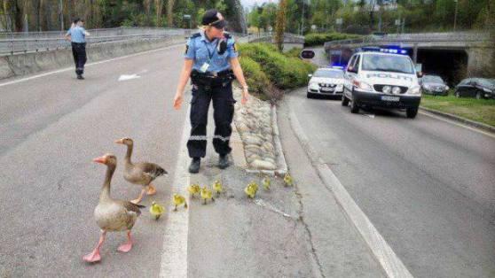 Geese Stopping Traffic (Image via La Bioguia)