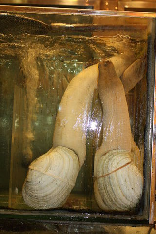 Rings visible on geoducks in a restaurant in Hong Kong. (Photot by J. Patrick Fischer/Creative Commons via Wikimedia)