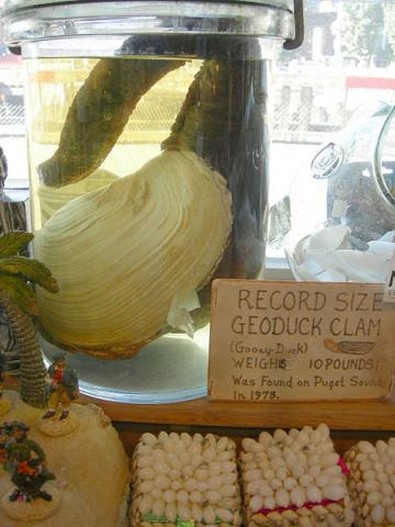 Large geoduck on display in a curiosity shop in Seattle. (Photo by Joe Mabel/GFDL via Wikimedia)