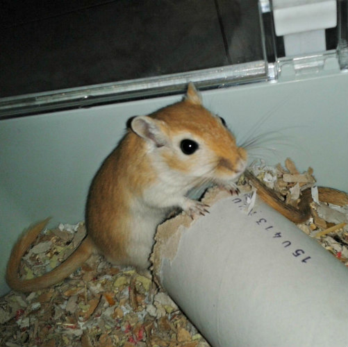 gerbils as small pets
