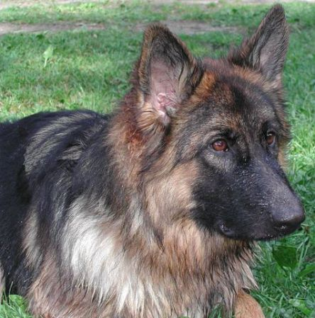 German Shepherd (Public Domain Image)