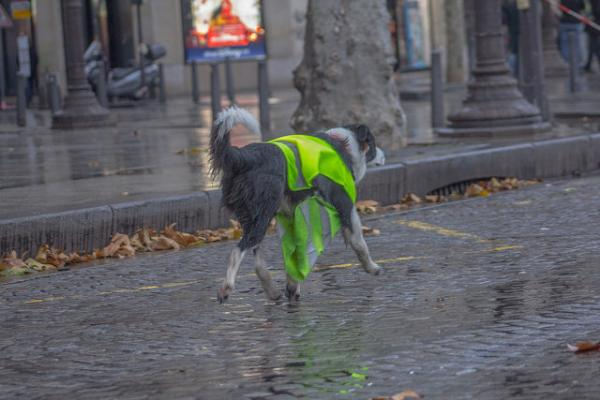 Yellow Vest Dog Protests Wet Weather, Feet, Nose