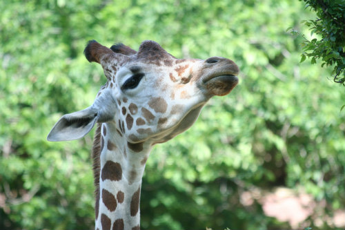 Giraffes are the Tallest Land Mammals in the World: Leucism occurs in many different species to varying extents