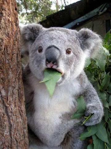 Shocked Koala (Image via Global Animal Transport)