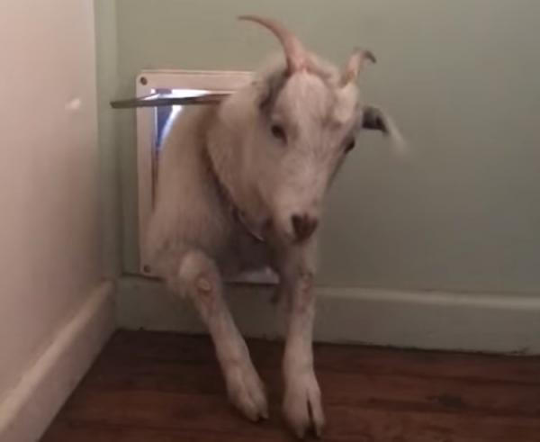Homey Goat Raises Flap By Coming & Going Through The Dog Door