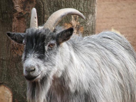 Goat (Public Domain Image)