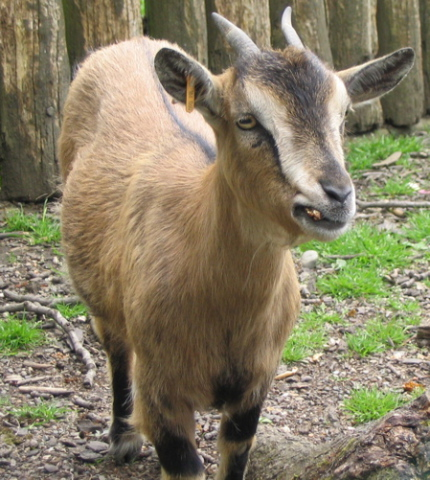 Goat (Photo by Leland/Creative Commons via Wikimedia)