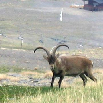 Pyrenean Ibex (Photo (c) 2005 Allan Psicobyte. Some rights reserved/Creative Commons via Wikimedia)
