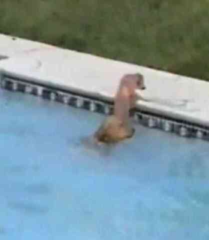 Golden Retriever Rescues Puppy from Pool (You Tube Image)