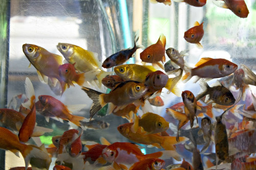 Goldfish create waste
