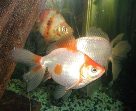 Goldfish (Photo by Raul654/Creative Commons via Wikimedia)