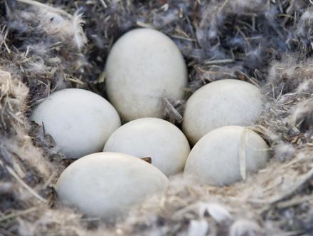 Goose eggs: (Photo by Conrad Kuiper /Creative Commons via Flickr)