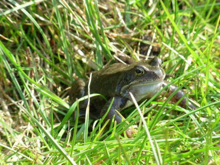 Common Grass Frog