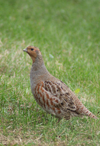 Grey Partridge (Photo by SriMesh/Creative Commons via Wikimedia)