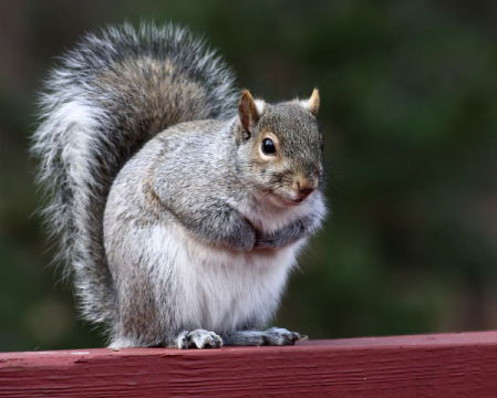 Gray Squirrel (Photo by Sage Ross/Creative Commons via Wikimedia)