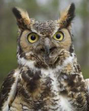 Great Horned Owl: image via tonypratt.com
