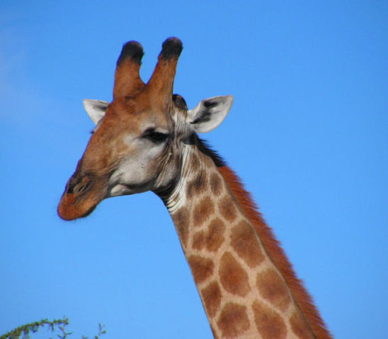 Giraffe (Photo by D. Gordon E. Robertson/Creative Commons via Wikimedia)