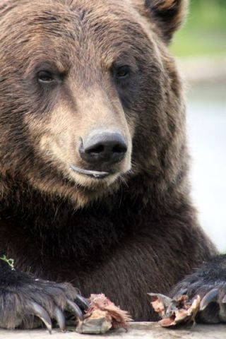 Grizzly Bear (Photo by Shellie/Creative Commons via Wikimedia)
