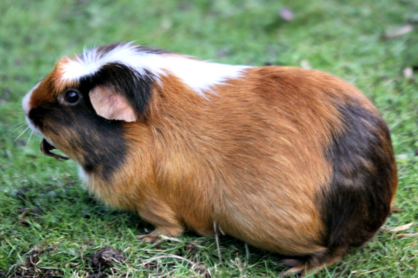 Guinea pigs are very smart & trainable