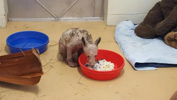 Hairless Bear Cub Found In Dumpster
