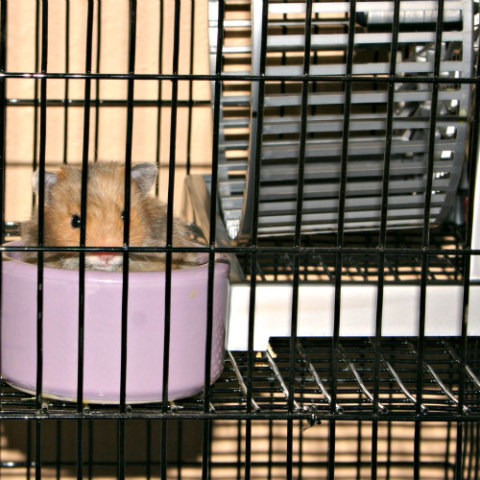Hamsters Can Get Fat Just Like the Rest of Us: Provide your hamster with an exercise wheel