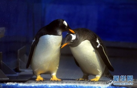 Gay penguins at the Harbin Polarland Zoo: image via shanghaiist.com