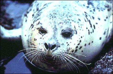 Harbor Seal (Public Domain Image)