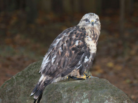 Rough-Legged Hawk (Photo by DickDaniels/Creative Commons via Wikimedia)