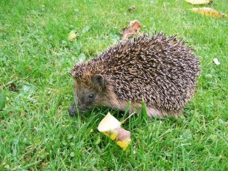 Hedgehog (Photo by Jürgen Howaldt/Creative Commons via Wikimedia)