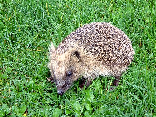 Hedgehogs As Pets: Get The 411 Before You Decide: Hedgehogs are naturally curious
