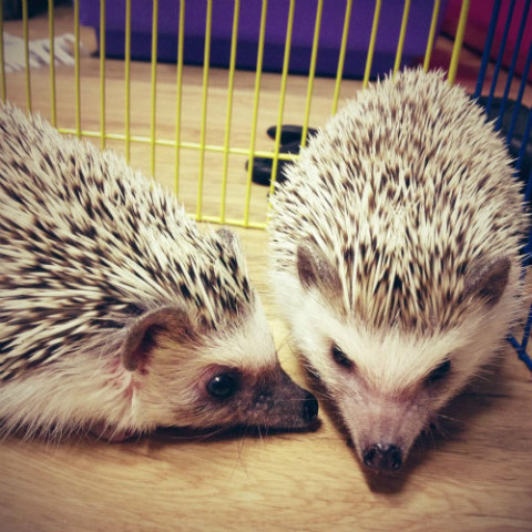 Hedgehogs As Pets: Hedgehogs are generally neat & clean