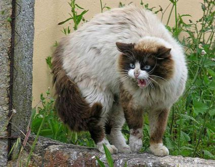 Hissing Cat (Public Domain Image)