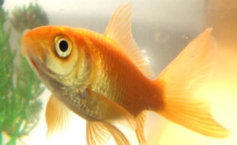 Goldfish: Source: historybyzim.com