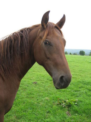 Chestnut Horse (Photo by evelynbelgium/Creative Commons via Wikimedia)