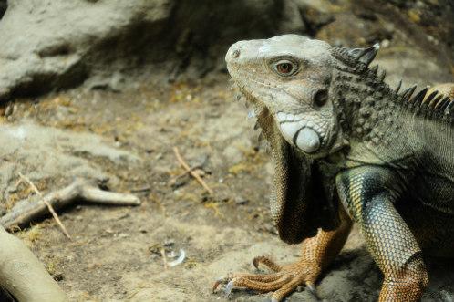 Iguana: Lizards are thought to have unihemispheric sleep traits