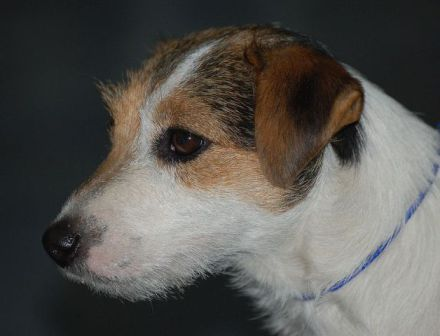Jack Russell Terrier (Photo by Lily M/Creative Commons via Wikimedia)