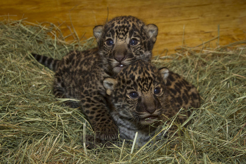 Jaguar Cubs born in San Diego Zoo on April 26, 2012: image via San Diego Zoo
