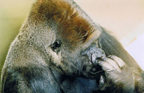 A Portrait of Jambo the Gorilla by John Catterall (Photo by Salfordjc/Creative Commons via Wikimedia)