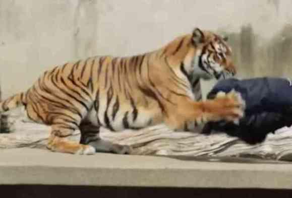 Tiger Distressing Denim (You Tube Image)