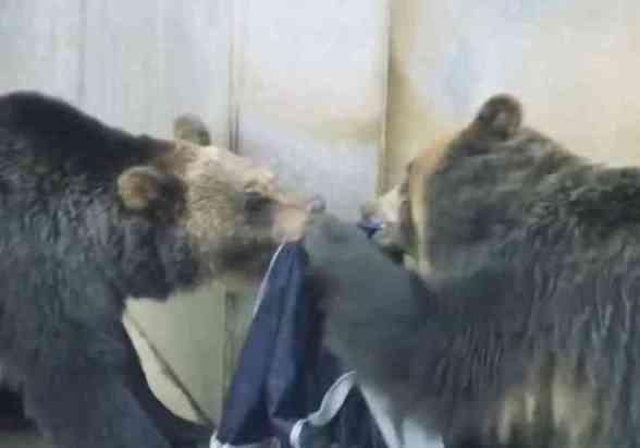 Bears Distressing Denim (You Tube Image)