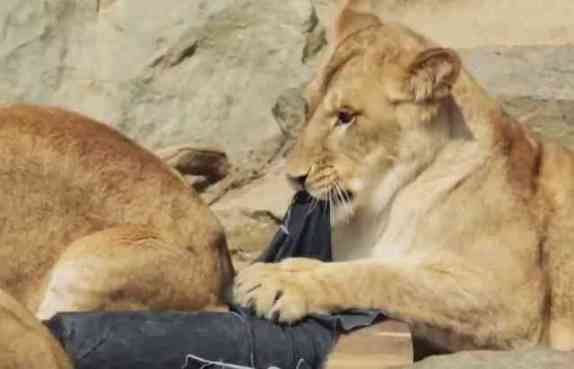 Lions Distressing Denim (You Tube Image)